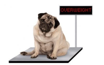 Obesity In Pets: How To Keep Your Pets At A Healthy Weight