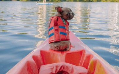 Why Can't French Bulldogs Swim? Tips To Help Them Safely Enjoy The Water